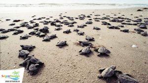 Du lịch Côn Đảo xem rùa đẻ trứng
