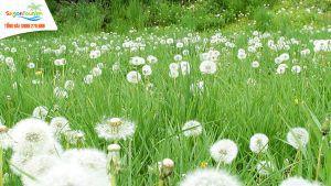 vườn hoa bồ công anh